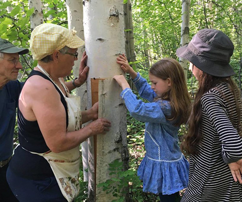 birch bark harvesting